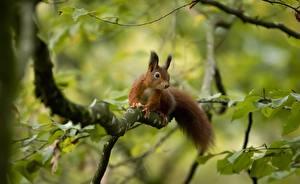Fotos Eichhörnchen Ast Blatt ein Tier