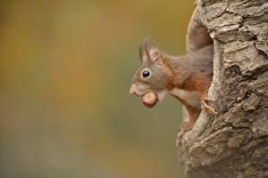 Hintergrundbilder Hörnchen Schalenobst Kopf ein Tier