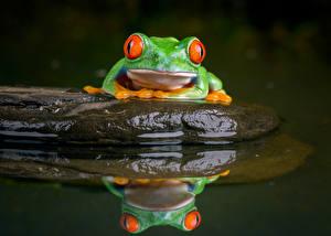 Bureaubladachtergronden Steen Water Kikker Weerspiegeld red-eyed treefrog