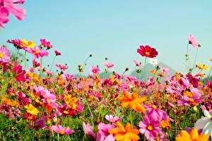 Fondos de Pantalla Verano Cielo Herbazal Cosmos planta Flores imágenes