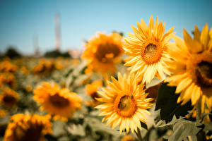 Bilder Sonnenblumen Unscharfer Hintergrund Fantasy