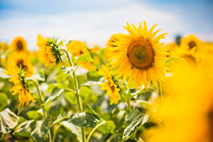 Pictures Sunflowers Blurred background Flowers