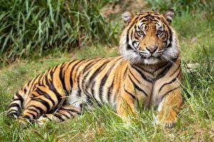 Fotos Tiger Gras Ruhen Schnauze Blick Tiere