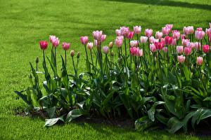 Bilder Tulpen