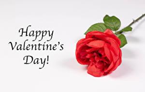Tapety na pulpit Walentynki Róże Z bliska Szare tło Angielskie Słowo Czerwony Kwiaty