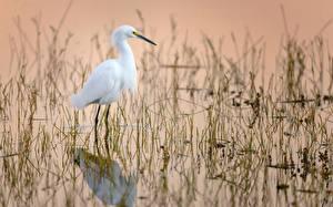 Fotos Wasser Vögel Reiher Weiß Egretta thula, Snowy egret