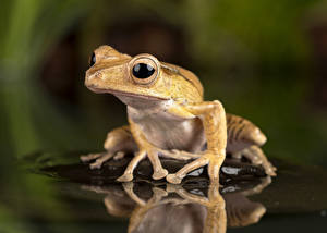 Pictures Water Eyes Frog Reflected Borneo Eared Frog animal