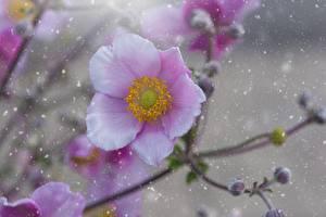 Bilder Windröschen Hautnah Rosa Farbe Unscharfer Hintergrund