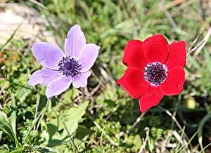 Hintergrundbilder Windröschen Gras 2 Rot Violett