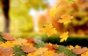 Hintergrundbilder Herbst Ahorn Blatt Natur