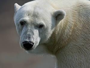Hintergrundbilder Bären Eisbär Schnauze Tiere