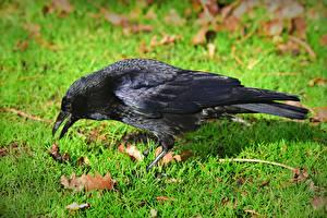 Bilder Vögel Aaskrähe Gras Schwarz