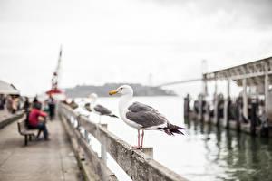 Sfondi desktop Uccello Gabbiani Stati uniti Sfondo sfocato San Francisco Lungomare Città