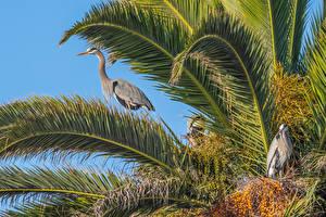 Fotos Vogel Reiher Ast Great Blue Herons ein Tier