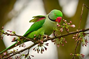 Image Birds Parrots Branches Green Alexandrine parakeet Animals