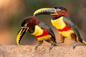 Hintergrundbilder Vogel Tukane Zwei Schnabel Pteroglossus castanotis ein Tier