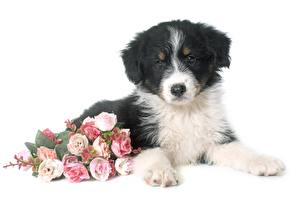 Wallpaper Bouquet Rose White background Laying Puppies Aussie dog Flowers
