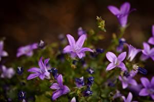 Fotos Glockenblumen Unscharfer Hintergrund Violett Blüte