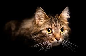 Hintergrundbilder Hauskatze Schwarzer Hintergrund Schnauze Schnurrhaare Vibrisse Starren ein Tier