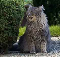 Fotos Hauskatze Graue Flauschige ein Tier