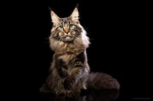 Pictures Cats Maine Coon Black background Glance Natalya Leis Animals