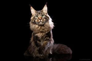 Fondos de escritorio Gato Maine Coon Fondo negro Contacto visual Natalya Leis un animal