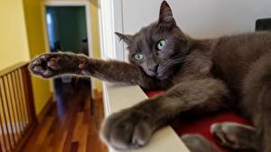 Bilder Hauskatze Pfote Graue Liegen ein Tier