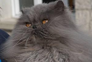 Fotos Katze Perserkatze Grau Schnauze ein Tier