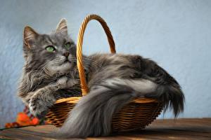 Hintergrundbilder Katze Weidenkorb Blick Graues Tiere