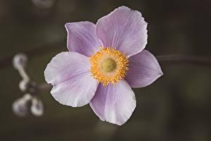 Fotos Großansicht Windröschen Unscharfer Hintergrund Rosa Farbe