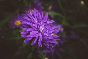 Hintergrundbilder Großansicht Astern Unscharfer Hintergrund Violett Blüte