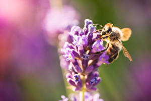 Wallpapers Closeup Bees Insects Blurred background animal