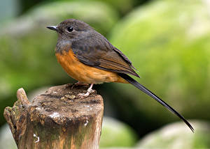 Wallpapers Closeup Birds Blurred background Tree stump white-rumped shama Animals