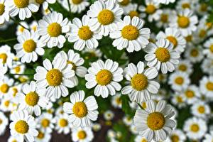 Photo Closeup Camomiles Many White Flowers