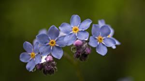 Bilder Nahaufnahme Unscharfer Hintergrund Myosotis Blüte