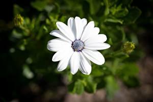Bilder Hautnah Kapkörbchen Unscharfer Hintergrund Weiß Blüte