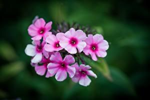 Bilder Nahaufnahme Phlox Bokeh Rosa Farbe