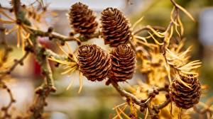 Wallpapers Closeup Pine cone Branches Nature