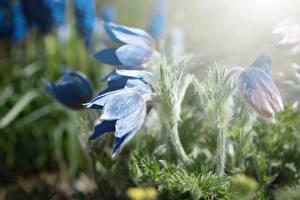Bilder Großansicht Kuhschellen Unscharfer Hintergrund Blau Blumen
