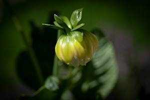Wallpapers Dahlias Closeup Blurred background Flower-bud