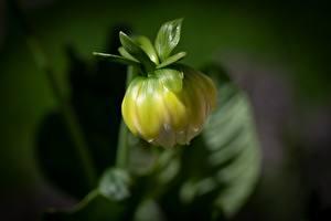 Tapety na pulpit Dalie Zbliżenie Rozmazane tło Pąk kwiat