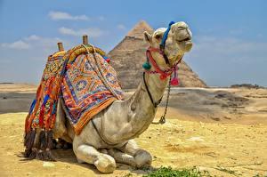Fotos Wüste Kamele Ruhen HDRI