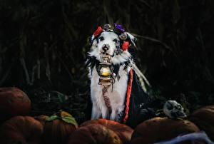 Fotos Hund Petroleumlampe Australian Shepherd