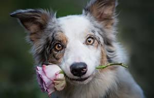 Bilder Hund Rosen Schnauze Border Collie Starren ein Tier