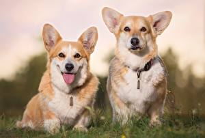 Images Dogs Two Welsh Corgi Tongue Staring Animals