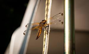 Hintergrundbilder Libellen Insekten