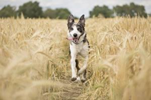 Fotos Acker Hund Ähren Zunge Laufsport ein Tier