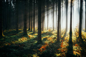 Картинки Лес Дерева Лучи света Природа