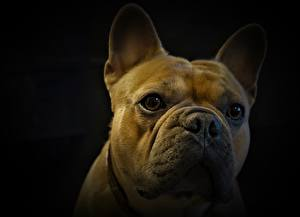 Pictures French Bulldog Closeup Dogs Head Staring Black background Animals