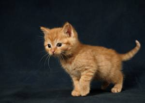 Pictures Ginger color Pretty Kitty cat